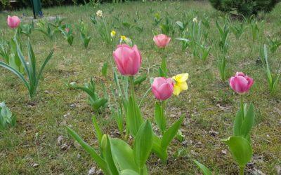 """Sadzimy tulipany"""